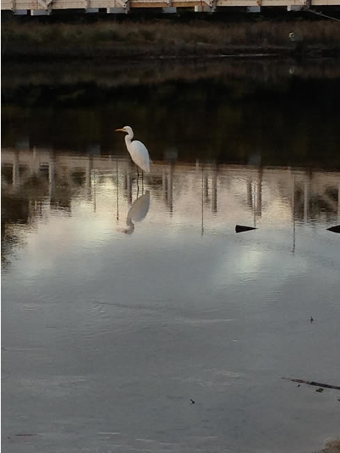 A heron wading, at Lorne, Victoria, Australia