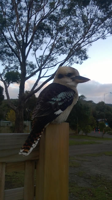 A friendly kookaburra, at Lorne, Victoria, Australia
