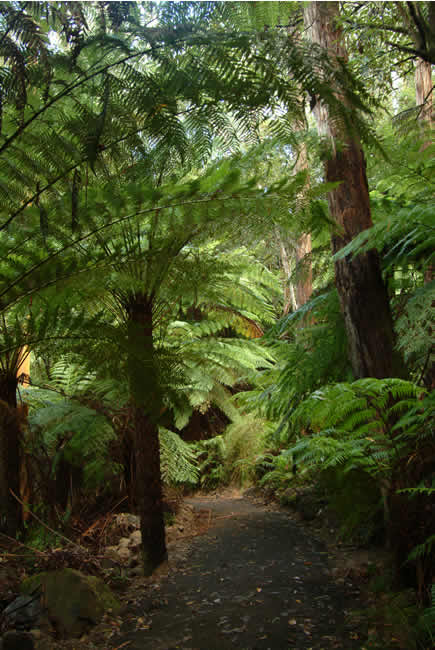 Spectacular tree ferns along the walking track to Lake Elizabeth, near Forrest, Otways Forest, Victoria, Australia
