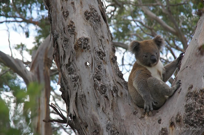 Koala in a tree, near Cape Otway, Victoria, Australia