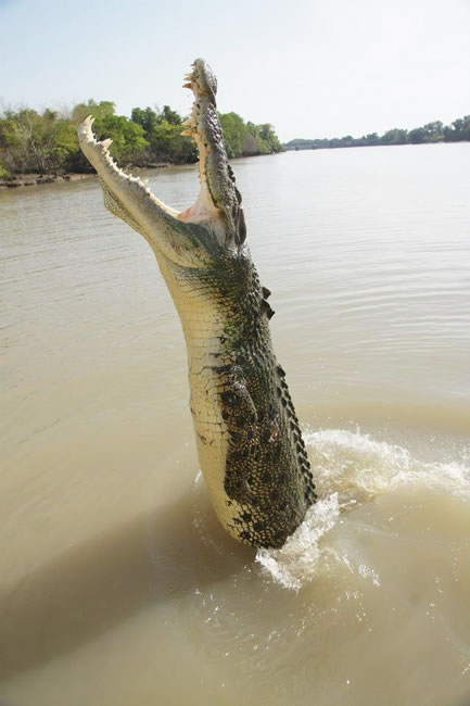 Dangerous menace. Saltwater crocodile leaping, near Darwin, Northern Territory, Australia