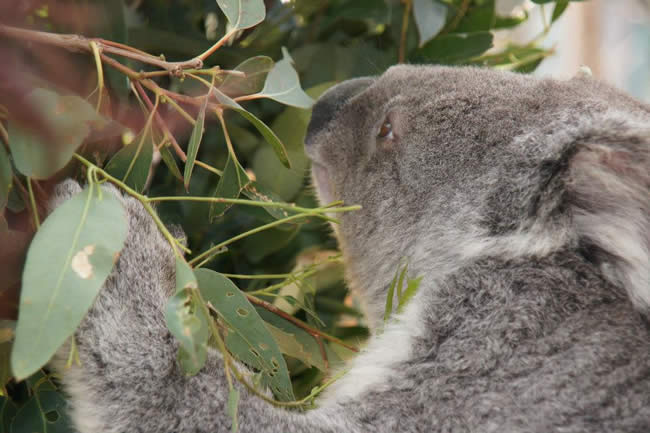 An Australian national icon. Koala at Taronga Zoo, Sydney, New South Wales, Australia