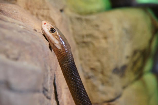 An exquisite picture of a taipan snake at Taronga Zoo, Sydney, New South Wales, Australia