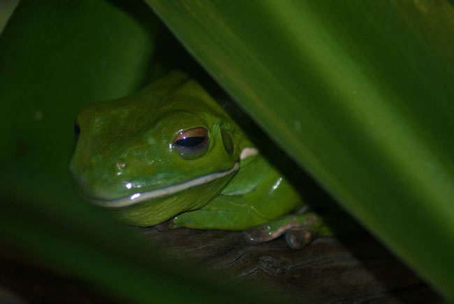 White lipped green tree frog, at Taronga Zoo, Sydney, New South Wales, Australia