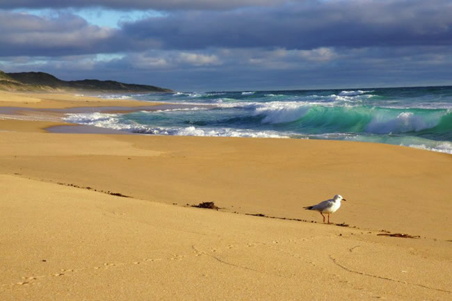 Breakers crashing on the beach, but the seagull is unconcerned ... near Wonthaggi, Victoria, Australia