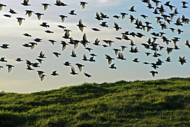 A flight of birds takes to the sky, near Wonthaggi, Victoria, Australia